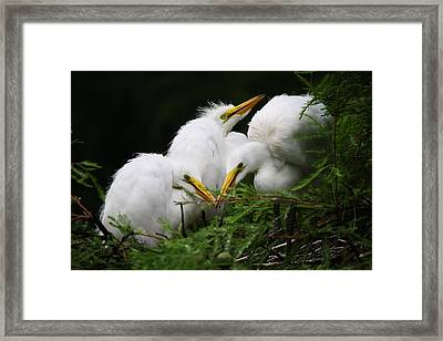 Great White Egret Babies In The Nest Framed Print by Paulette Thomas