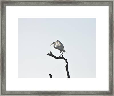 Great White Egret Framed Print by Nancybelle Gonzaga Villarroya