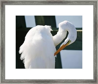 Great White Egret Preening Framed Print by Paulette Thomas