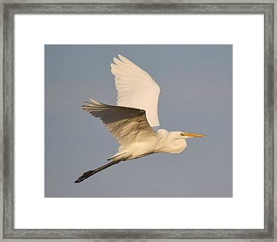 Great White Egret Soaring Framed Print by Paulette Thomas