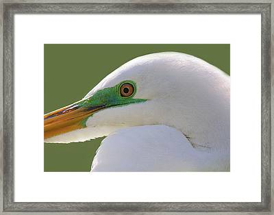 Great White Egret Up Close And Personal Framed Print by Paulette Thomas