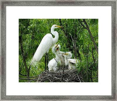 Great White Egret With Babies Framed Print by Paulette Thomas