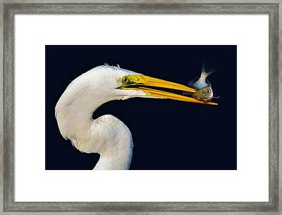 Great White Egret With His Catch Framed Print by Paulette Thomas