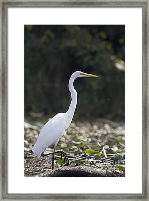 Great White Heron Framed Print by Christopher Purcell