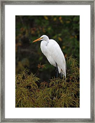 Great White Heron In Everglades Np Framed Print by Juergen Roth