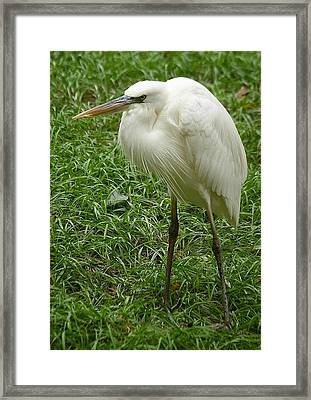Framed Print featuring the photograph Great White Heron by Myrna Bradshaw