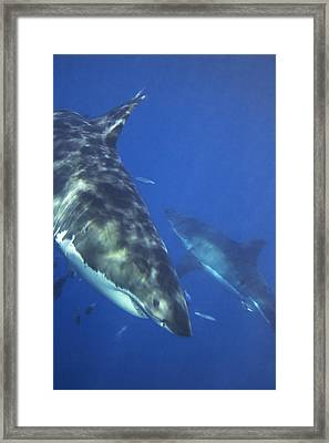 Great White Sharks Swimming In Clear Framed Print by Mauricio Handler