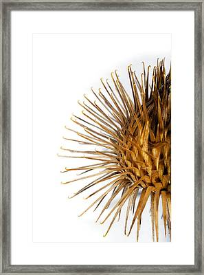 Greater Burdock Burr (arctium Lappa) Framed Print by Dr Keith Wheeler