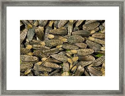 Greater Burdock Seeds (arctium Lappa) Framed Print