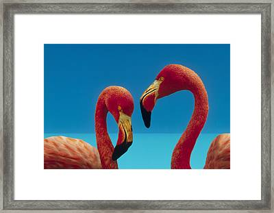 Greater Flamingo Courting Pair Framed Print