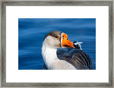 Greater White Frontal-goose Striking A Pose Framed Print by Ann Murphy