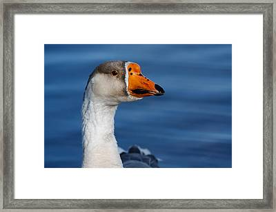 Framed Print featuring the photograph Greater-white Fronted Goose by Ann Murphy