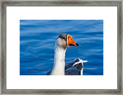 Greater White-fronted Goose Looking For A Mate Framed Print