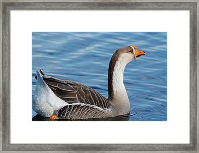 Greater White-fronted Goose Paddling Away Framed Print by Ann Murphy