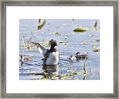 Grebe With Babies Framed Print by Mark Duffy