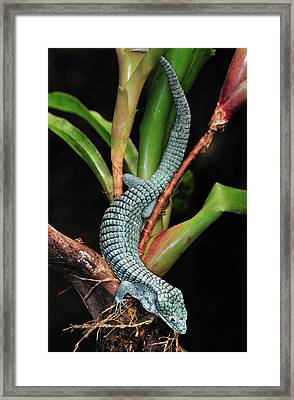 Green Arboreal Alligator Lizard Abronia Framed Print