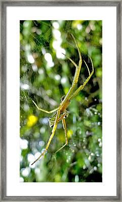 Green Argiope  Framed Print by Roy Foos