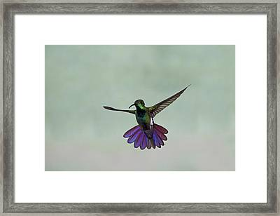 Green-breasted Mango Hummingbird Framed Print by David Tipling