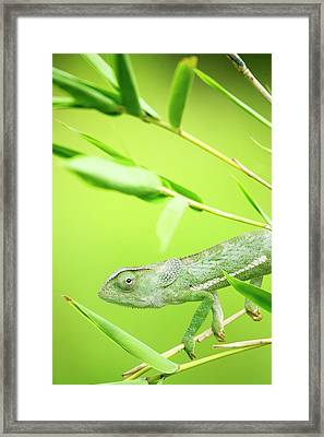 Green Chameleon In Mozambique Framed Print by Alex Bramwell