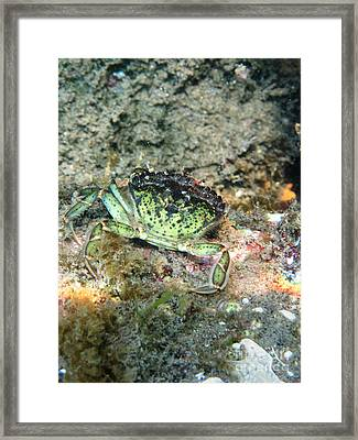 Green Crab Framed Print by Ted Kinsman