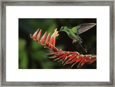 Green-crowned Brilliant Heliodoxa Framed Print by Michael & Patricia Fogden