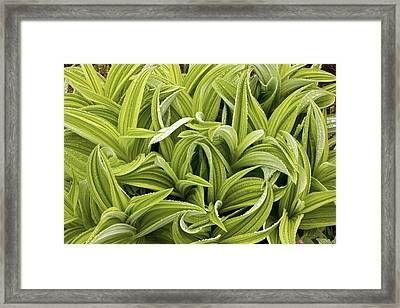 Green False Hellebore (veratrum Viride) Framed Print by Bob Gibbons