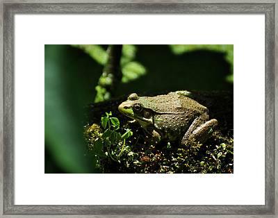 Green Frog Rana Clamitans Framed Print by Rebecca Sherman