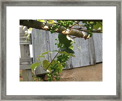 Green Grapes On Rusted Arbor Framed Print