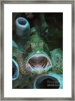 Green Grouper With Open Mouth, North Framed Print by Mathieu Meur