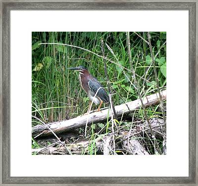Green Heron 2790 Framed Print by Suzanne  McClain