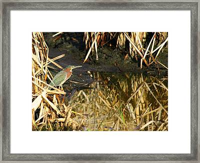 Framed Print featuring the photograph Green Heron by Jeanne Andrews