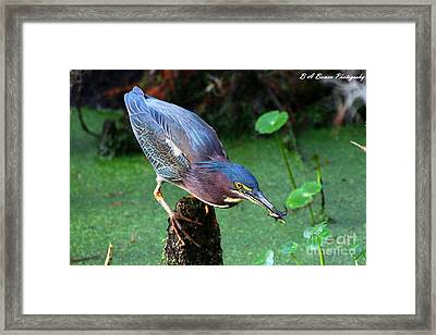 Green Heron Nabs A Fish Framed Print