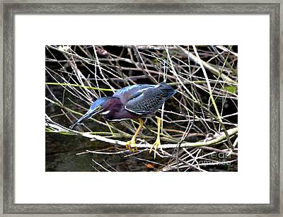 Framed Print featuring the photograph Green Heron by Pravine Chester