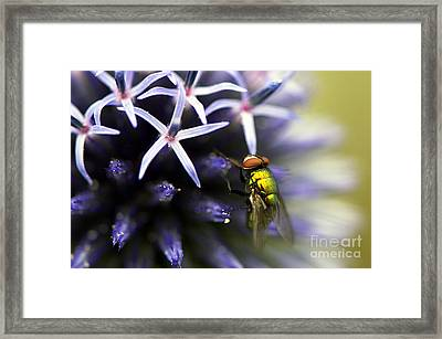 Green Metallic Fly On Globe Thistle Framed Print