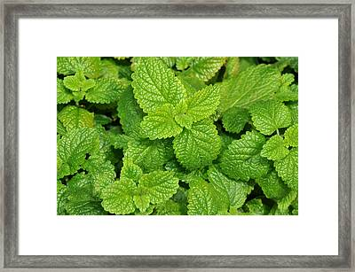 Framed Print featuring the photograph Green Mint by Diane Lent