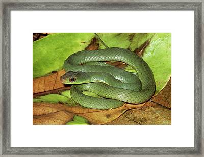 Green Racer Drymobius Melanotropis Amid Framed Print by Michael & Patricia Fogden