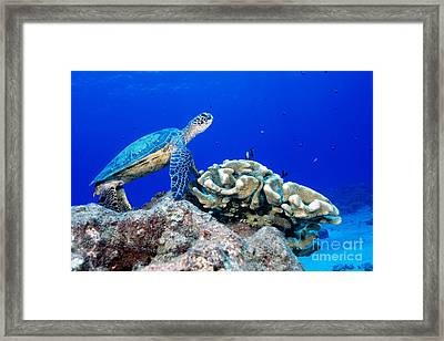 Green Sea Turtle Framed Print by Andrew G Wood and Photo Researchers