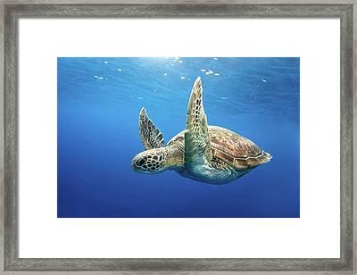 Green Sea Turtle Framed Print by James R.D. Scott