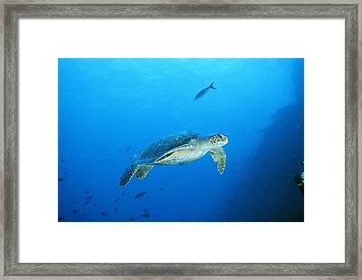 Green Sea Turtle, Off Sipadan Island Framed Print
