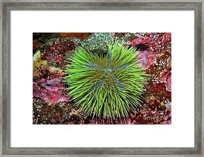 Green Sea Urchin On Rock Framed Print by Sami Sarkis