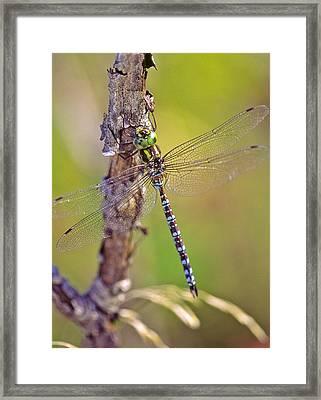 Green-striped Darner Dragonfly Framed Print