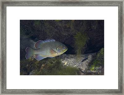 Green Sunfish Swimming Along The Rocky Framed Print by Michael Wood