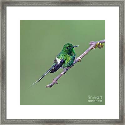 Green Thorntail Framed Print by Jean-Luc Baron