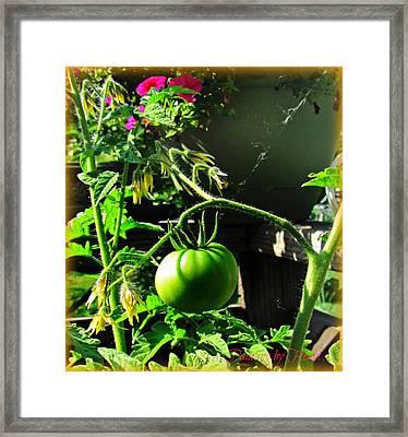 Green Tomatoes Framed Print
