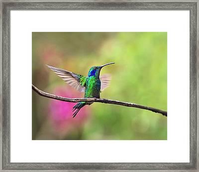 Green Violetear In The Garden Framed Print