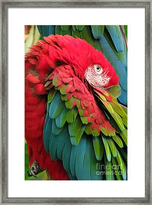 Green-winged Macaws Framed Print by Frank Townsley