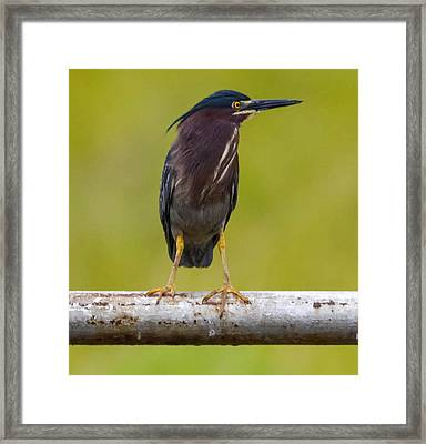 Greenbacked Heron Framed Print by Brian Stevens