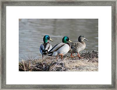 Framed Print featuring the photograph Greenhead Gang by Mark McReynolds