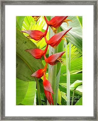 Greenhouse Heliconia Framed Print