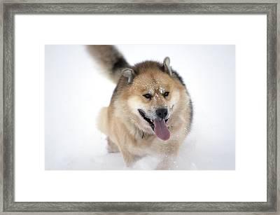 Greenland Dog Framed Print